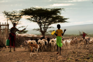 some-species-such-as-goats-and-sheep-are-likely-to-adapt-to-hot-and-dry-conditions-better-than-cattle-shutterstock