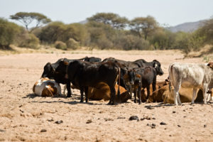 warmer-temperatures-are-likely-to-cause-heat-stress-in-cattle-raised-on-natural-pastures-and-in-feedlots-shutterstock